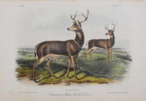 John James Audubon (1785-1851) & John Woodhouse Audubon (1812-1862), Columbian Black-tailed Deer Pl. CVI