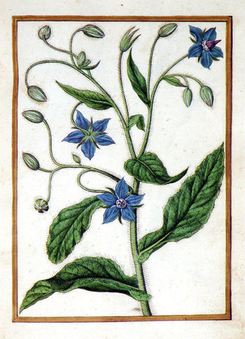 Jacques le Moyne de Morgues (French, ca. 1533-1588), Common Borage
