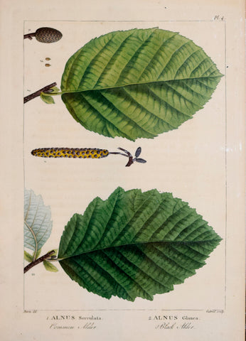 Francois Andre Michaux (1770-1855), Common Alder and Black Alder