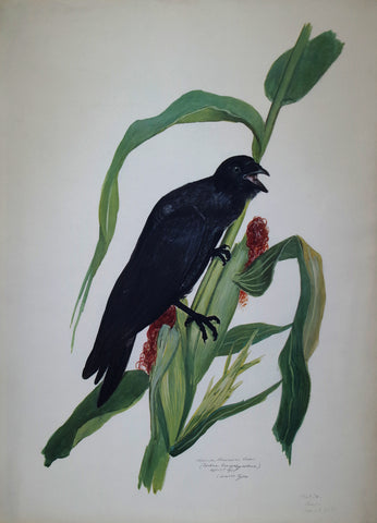 Carroll Sargent Tyson (1877-1956), Common American Crow