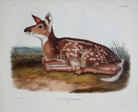 John James Audubon (1785-1851) & John Woodhouse Audubon (1812-1862), Common American Deer Pl. LXXXI