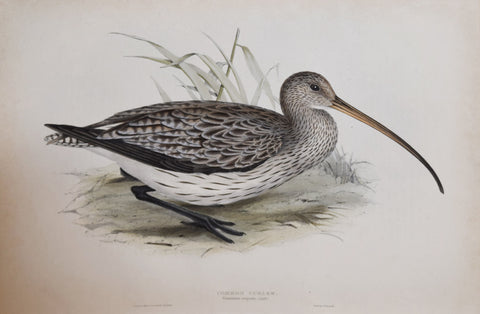 John Gould (1804-1881), Common Curlew