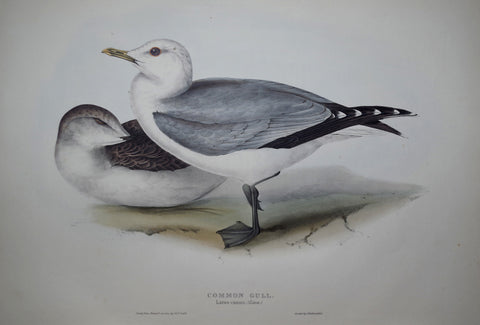 John Gould (1804-1881), Common Gull