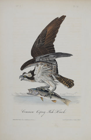 John James Audubon (American, 1785-1851), Pl 15 - Common Osprey Fish Hawk