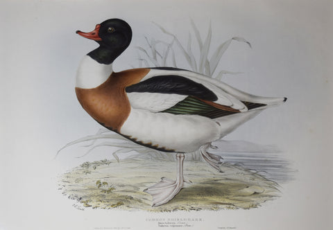 John Gould (1804-1881), Common Shieldrake