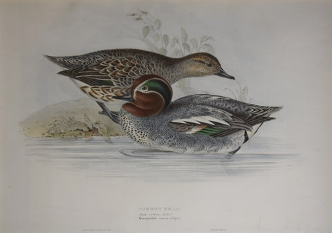John Gould (1804-1881), Common Teal
