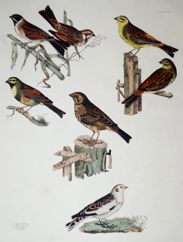 Prideaux John Selby (1788-1867), Common, Yellow, Reed, Cirl, Tawny Bunting Plt LIL