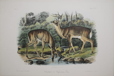 John James Audubon (1785-1851) & John Woodhouse Audubon (1812-1862), Common or Virginian Deer Pl. CXXXVI