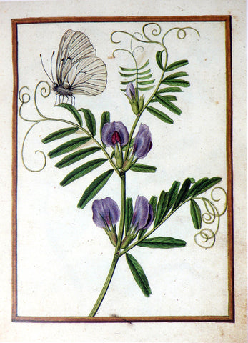 Jacques le Moyne de Morgues (French, ca. 1533-1588), Common vetch and Black-veined butterfly