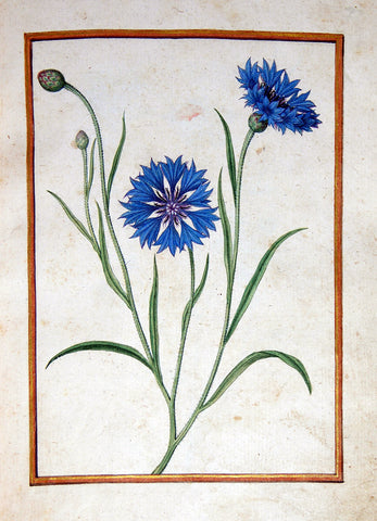 Jacques le Moyne de Morgues (French, ca. 1533-1588), Cornflower