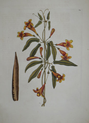 Mark Catesby (1683-1749), Cross-Vine P82