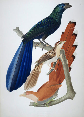 Jean Théodore Descourtilz (1796-1855), Crotophaca Major 15