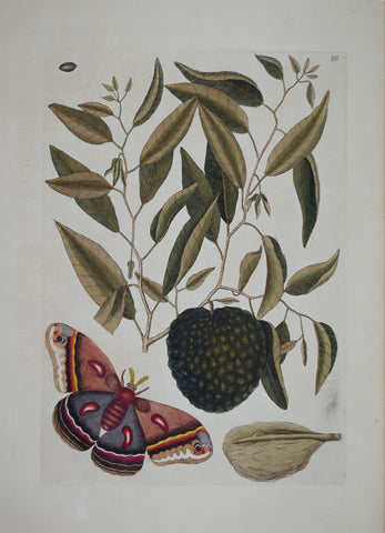 Mark Catesby (1683-1749), Custard Apple P86