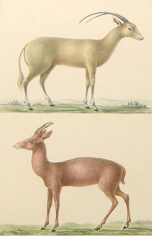 Paul- Louis Oudart (French, 1796-1850) Antelope Study