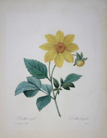 Pierre Joseph Redoute (1759-1840), Dalhia simple