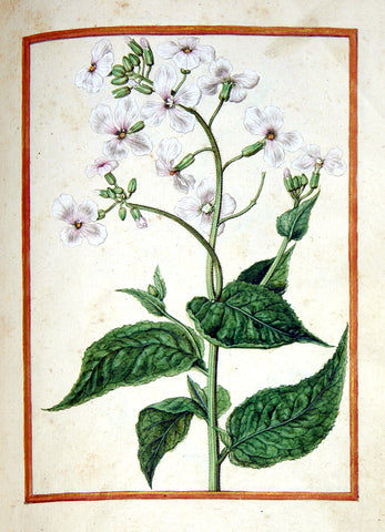 Jacques le Moyne de Morgues (French, ca. 1533-1588), Dame's Violet, Hesperis Matronalis