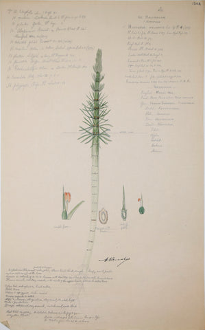 Alexander Descubes (Mauritian, born, ca. 1840-1920), 1304 Hippuris Vulgaris (Mare's or common mare's tail; horsetail)