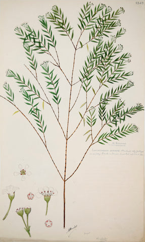 Alexander Descubes (Mauritian, born, ca. 1840-1920), 1349 Leptospermum Purpurascens (Purple stemmed turkey bush)