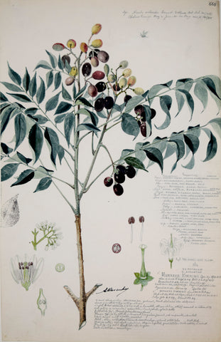 Alexander Descubes (Mauritian, born, ca. 1840-1920), 668 Murraya Koenigii (Curry Tree)