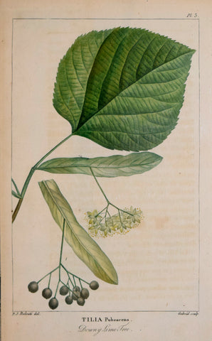 Francois Andre Michaux (1770-1855), Downy Lime Tree