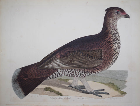Alexander Wilson (1766-1813), Dusky Grous, Female