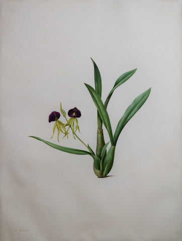 "Pierre-Joseph Redouté (Belgian, 1759-1840), ""Larger Yellow Ladyslipper"" Ependendrum cochleatum"
