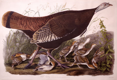 JOHN JAMES AUDUBON (1785-1851), Wild Turkey, Female and Young, PL. VI