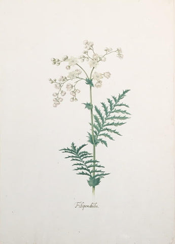 Pieter Holsteyn The Younger (Dutch, 1614-1687), Filipendula