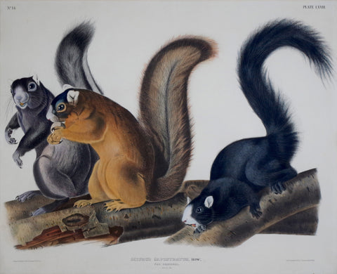 John James Audubon (1785-1851) & John Woodhouse Audubon (1812-1862), Fox Squirrel Pl. LXVIII