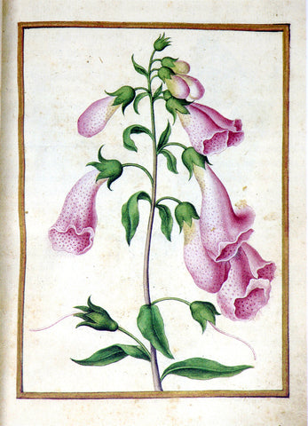 Jacques le Moyne de Morgues (French, ca. 1533-1588), Foxglove
