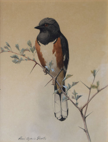 Louis Agassiz Fuertes (1874 - 1927), Roufus-Sided Towhee