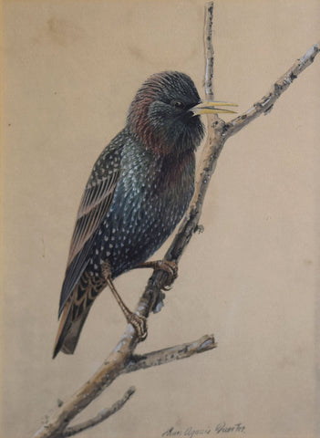 Louis Agassiz Fuertes (1874 - 1927),  Starling in Winter Plumage