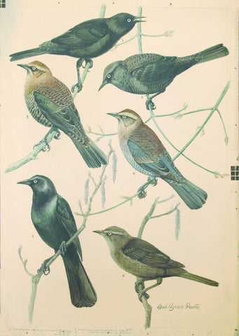 Louis Agassiz Fuertes (1874 - 1927), Rusty Blackbird, Brewer's Blackbird