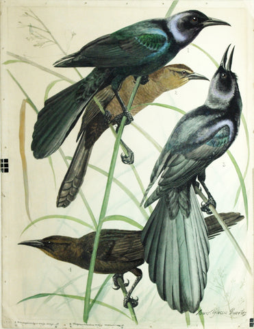 Louis Agassiz Fuertes (1874-1927), Boat-Tailed Grackle, Great-Tailed Grackle