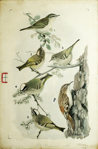 Louis Agassiz Fuertes (1874 - 1927), Willow (or Kennicott's) Warbler, Ruby-Crowned Kinglet, Golden-Crowned Kinglet, Brown Creeper