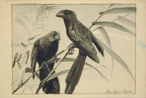 Louis Agassiz Fuertes (1874 - 1927), Anio (Man-o-war or Frigate birds)