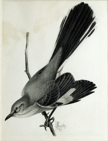 Louis Agassiz Fuertes (1874-1927), Northern Mockingbird