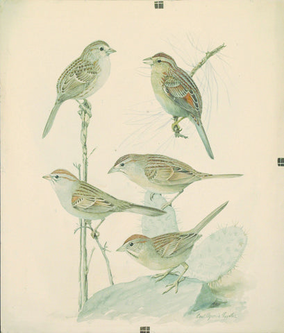 Louis Agassiz Fuertes (1874 - 1927), Cassin's Sparrow, Pine-Woods Sparrow Botteri's or Illinois Sparrow, Rufous-Winged Sparrow, Rufous-Crowned Sparrow