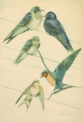 Louis Agassiz Fuertes (1874 - 1927), Barn Swallow
