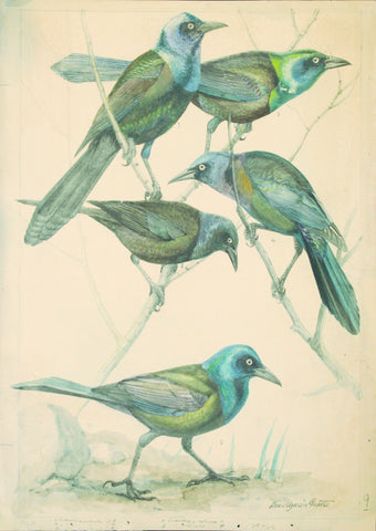 Louis Agassiz Fuertes (1874 - 1927), Purple Grackle, Florida Grackle, Bronzed Grackle