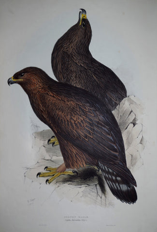 John Gould (1804-1881), Golden Eagle