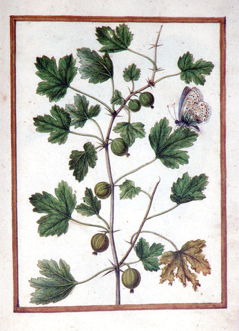 Jacques le Moyne de Morgues (French, ca. 1533-1588), Gooseberry and butterfly