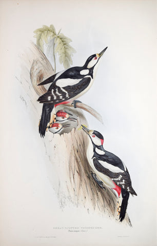 John Gould (1804-1881), Great Spotted Woodpecker
