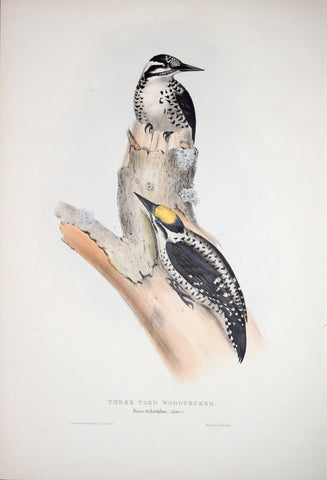 John Gould (1804-1881), Three Toed Woodpecker