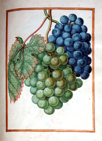 Jacques le Moyne de Morgues (French, ca. 1533-1588), Grape-vine