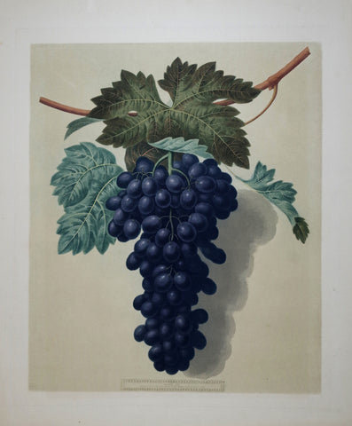 George Brookshaw (1751-1823), Grapes, Pl LII