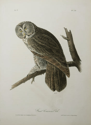 John James Audubon (American, 1785-1851), Great Cinerous Owl Pl 35
