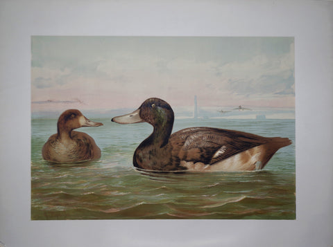 Alexander Pope, Jr. (1849-1924), Greater Scaup Duck