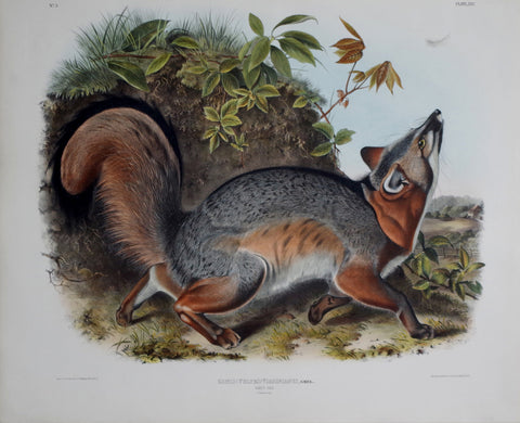 John James Audubon (1785-1851) & John Woodhouse Audubon (1812-1862), Grey Fox Pl. XXI
