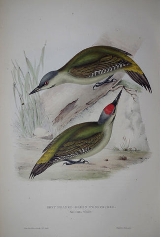 John Gould (1804-1881), Grey Headed Green Woodpecker